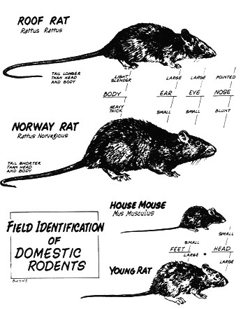Rats and more
