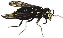 Bold Faced Hornets